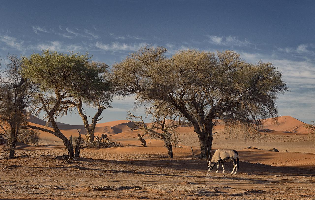 wild Oryx in Namibia